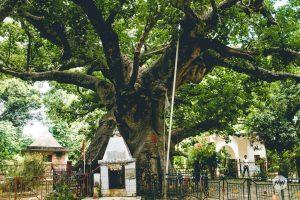 Parijat Tree